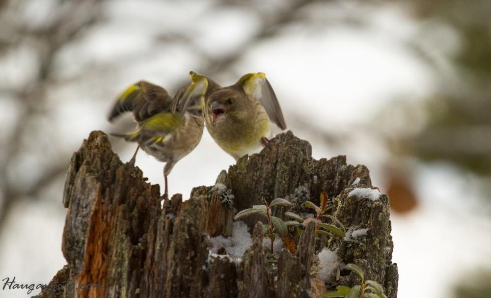 grønnfink krangler om frøa, tross de finnes i syke mengder...