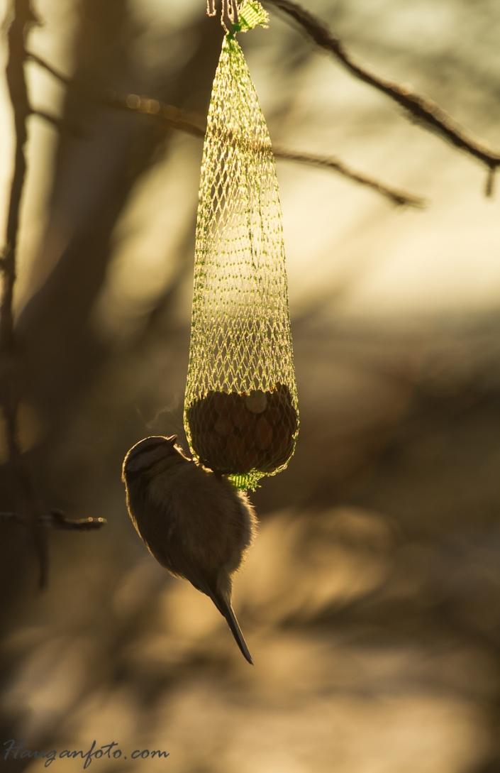 blåmeis i solnedgang, også her med frostrøyk (28 minus....)