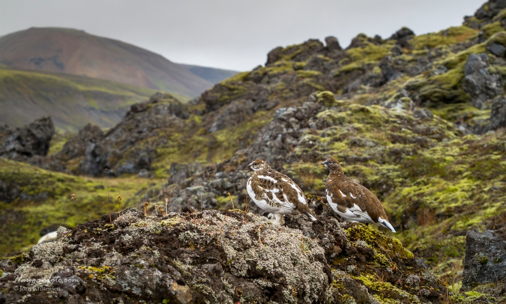 Ryper i fjellom.