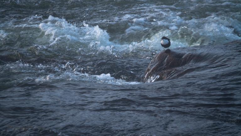 Fikk et bilde av fossekallen også, men mye tele og dis over vannet gjør bildet veldig dust, og kan fort virke litt uskarpt. Her synes jeg lell vi er innafor :-)