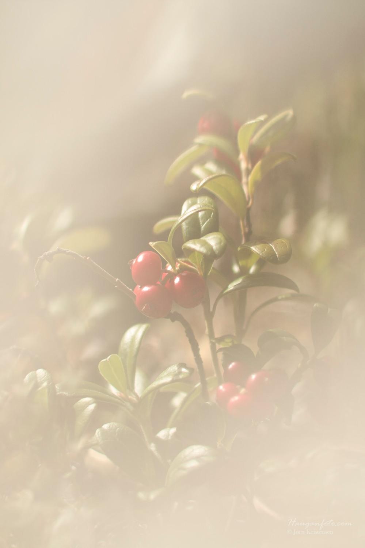 Tyttebær i morgendis