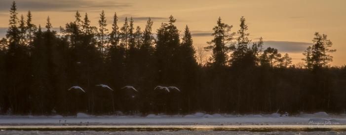 Svaner og ender ved Isterfossen