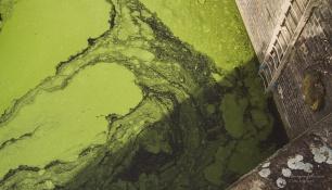 grønnske i vann