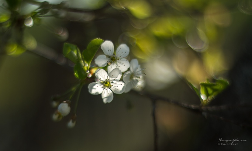 Kirsebærtre i blomst